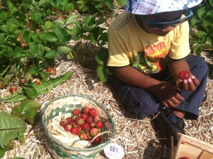 Avant strawberry picking III