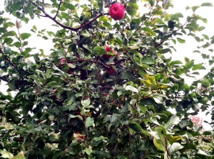 Red Apple Tree