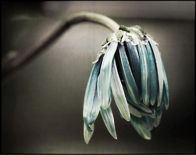 wilted pain flower