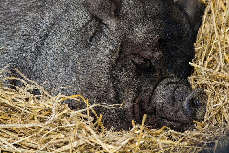 black pig sleeping